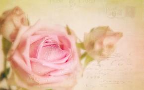 Picture drops, rose, postcard