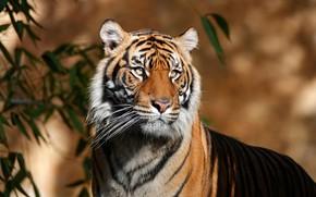 Picture look, face, leaves, light, tiger, background, portrait, handsome, bokeh