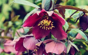 Picture flowers, background, hellebore, bright color, Helleborus