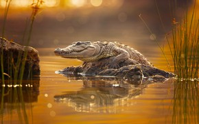 Picture crocodile, crocodile, Milan Zygmunt