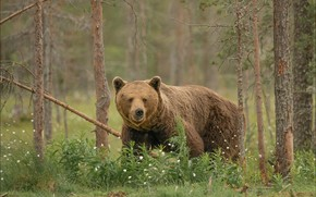 Picture forest, summer, look, face, flowers, nature, pose, bear, bear, pine, walk, brown