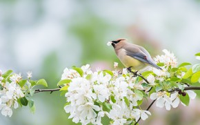 Picture flowers, branches, cherry, bird, spring, petal, white, flowering, in bloom, the Waxwing