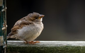 Picture background, bird, Sparrow