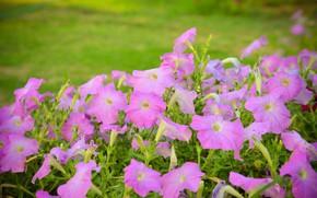 Picture summer, flowers, Bush, garden, pink, flowerbed, green background, Petunia, petunias