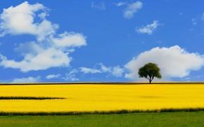 Picture field, the sky, tree, rape