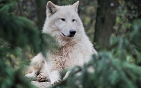 Picture forest, nature, animal, predator, Arctic wolf