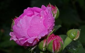 Picture drops, Rosa, rose, Bud, black background, pink rose
