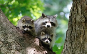 Picture tree, raccoons, family, cubs
