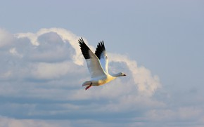 Picture white, the sky, clouds, light, flight, bird, height, goose, flying, flap