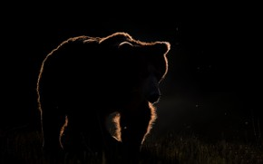 Picture night, nature, bear