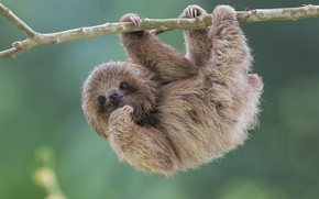 Wallpaper nature, sloth, Brdypus tridactilus, Pale-throated sloth