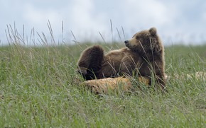 Picture nature, bear, meadow, DUELL ©
