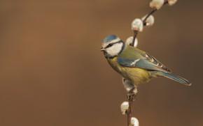 Picture background, bird, branch, Verba, tit