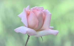 Picture background, pink, rose