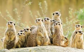 Picture look, group, animals, meerkats, company, a lot, stand, meerkat, meerkat