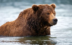 Picture river, bear, bathing, brown