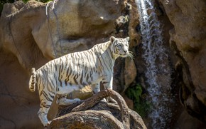 Picture white, tiger, pose, rocks, waterfall, snag, zoo