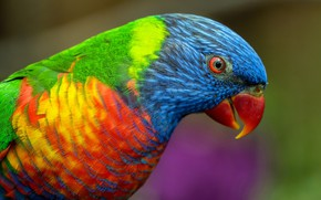 Picture look, bright, background, bird, parrot, colorful, Lori, bright plumage, rainbow, rainbow lorikeet
