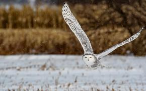 Picture winter, look, snow, flight, nature, owl, bird, snowfall, snowy owl, wingspan