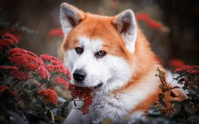 Picture look, face, flowers, nature, background, portrait, dog, red, red, Akita inu, Akita
