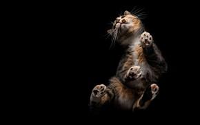 Picture cat, cat, pose, black background, food, bottom view, motley, trehlistna