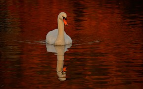 Picture water, reflection, bird, Swan