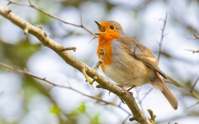 Picture branches, nature, bird, orange, beak, bird, sings, Robin