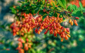 Picture autumn, branches, berries, fruit, bokeh, barberry