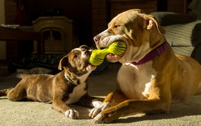 Picture dogs, toy, the game, pair, friends