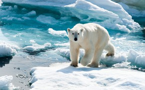 Picture winter, white, snow, ice, glacier, bear, ice, walk