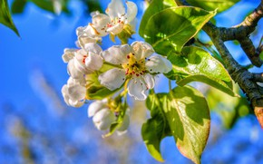 Picture leaves, branch, spring, pear, flowering, flowers
