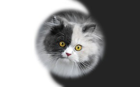 Picture kitty, muzzle, kitten, black-and-white background, Yin-Yang, black and white, by Pyrus-acerba