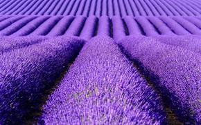 Picture summer, flowers, the ranks, lavender, plantation, bushes, lavender field, hill