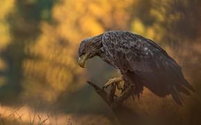 Picture autumn, nature, bird, predator, eagle, Lukasz Sokol