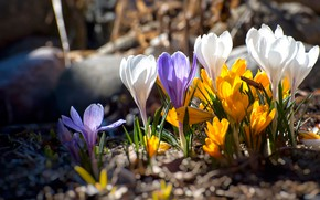 Picture flowers, spring, crocuses, clearing