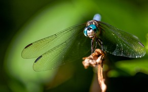 Picture macro, background, dragonfly, wings