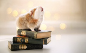Picture background, books, Guinea pig, rodent