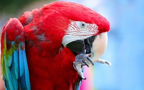 Picture look, red, pose, bird, portrait, parrot, claws, Ara