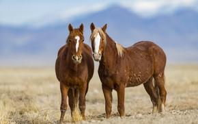 Picture horses, horse, pair