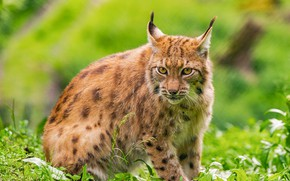 Picture greens, grass, look, lynx, sitting
