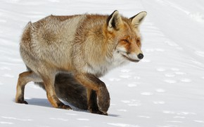 Picture winter, look, face, snow, traces, nature, pose, paws, Fox, the snow, Fox, narrowed