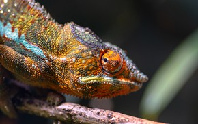 Picture look, bright, eyes, chameleon, the dark background, portrait, branch, reptile