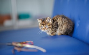 Picture cat, look, blue, kitty, background, sofa, baby, muzzle, cute, kitty, spotted, rope, motley
