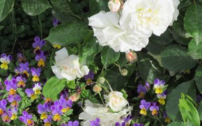 Picture flowers, roses, Pansy, white roses, 2018, Meduzanol ©