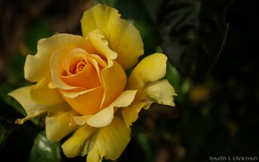 Picture yellow, rose, petals