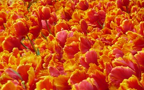 Picture flowers, bright, petals, tulips, red, orange, a lot, fire