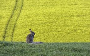 Picture summer, hare, rape