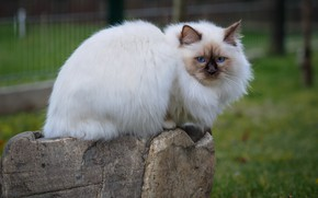 Picture cat, white, grass, cat, look, face, nature, Park, kitty, glade, stone, the fence, kitty, blue …