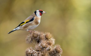 Picture bird, barb, goldfinch