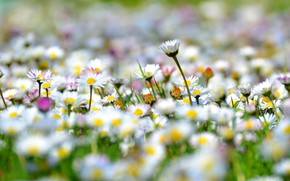 Picture meadow, white, Daisy